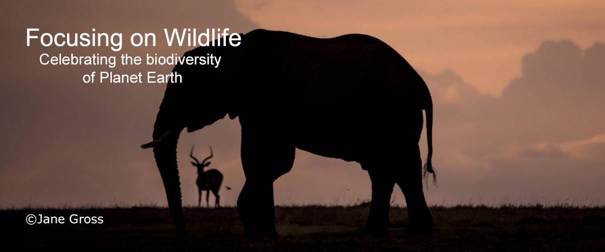 Evening Elephant with Impala by Jane Gross