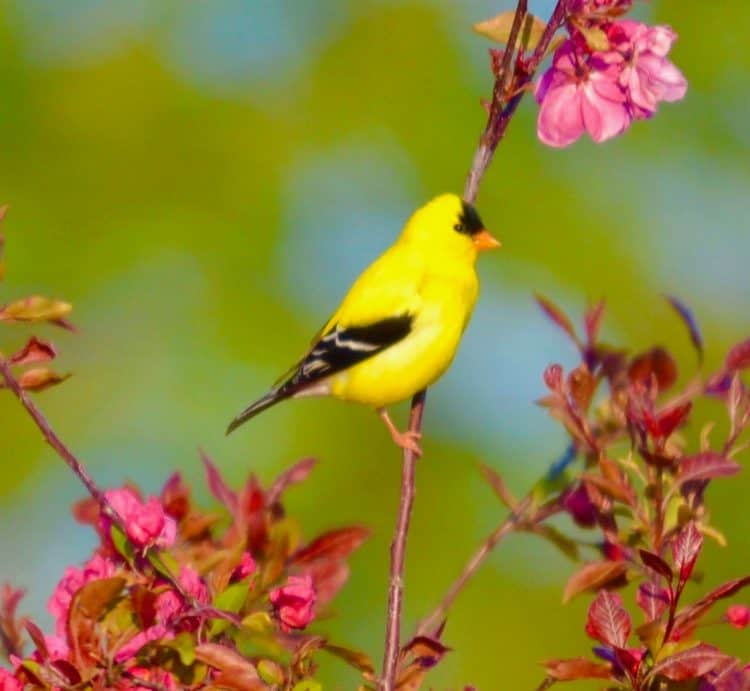 The American goldfinch. (Spinus tristis)