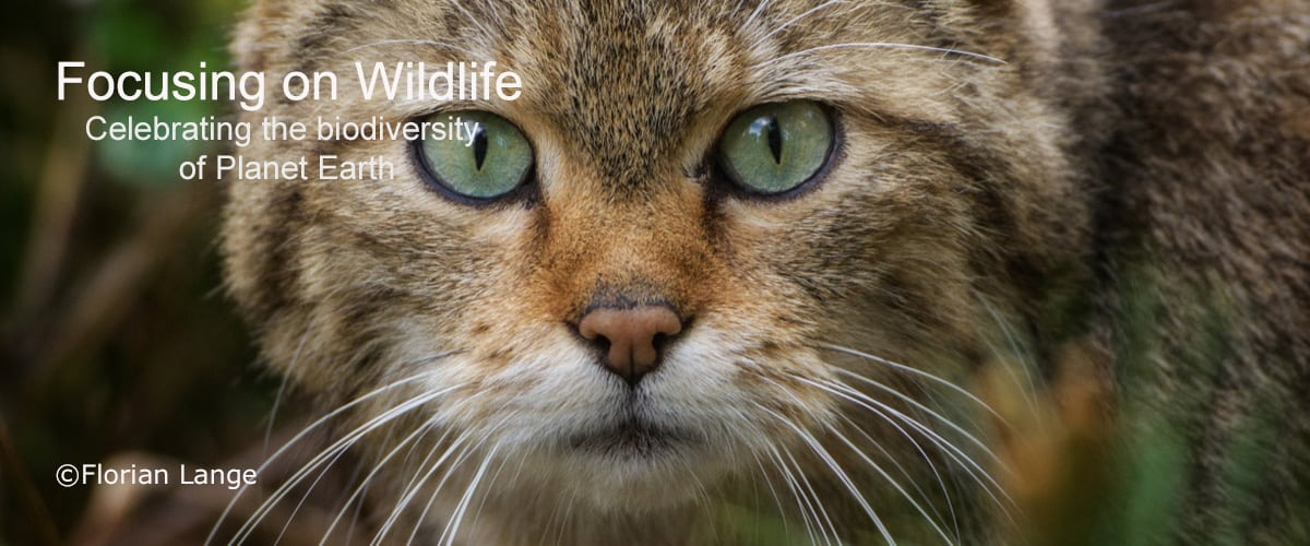Face to Face with the Wildcat by Florian Lange