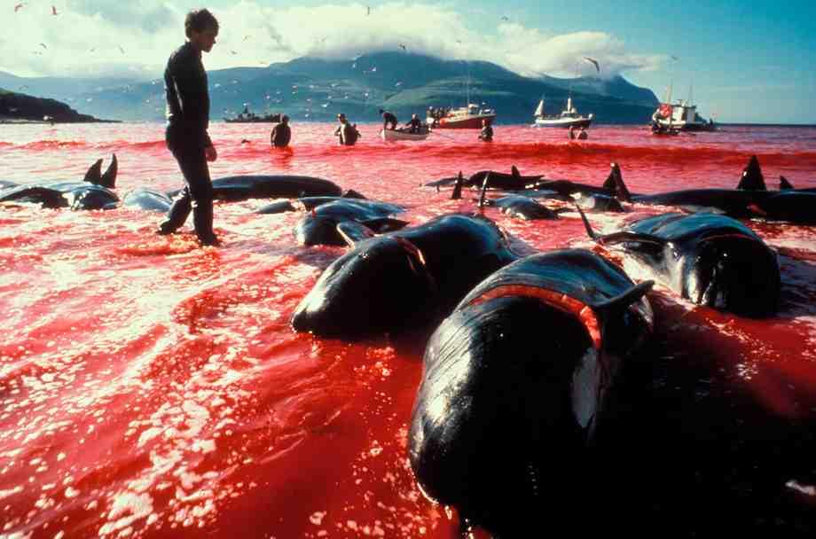 Faroe_Islands_Leynar_Bay_Pilot_Whales_011