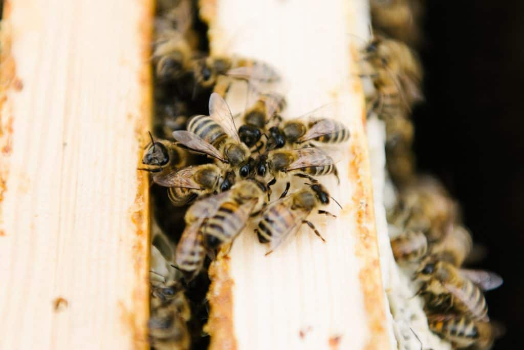 No Plan B for Berlin Bees