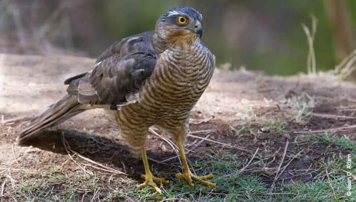 Save the Macaronesian Sparrowhawk