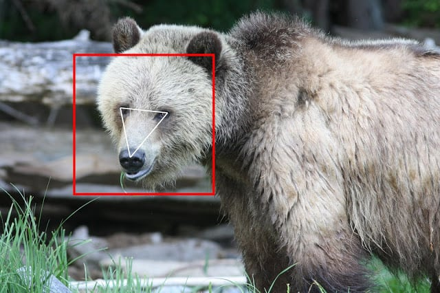 The female grizzly (Ursus arctos) in a lighter colour phase.