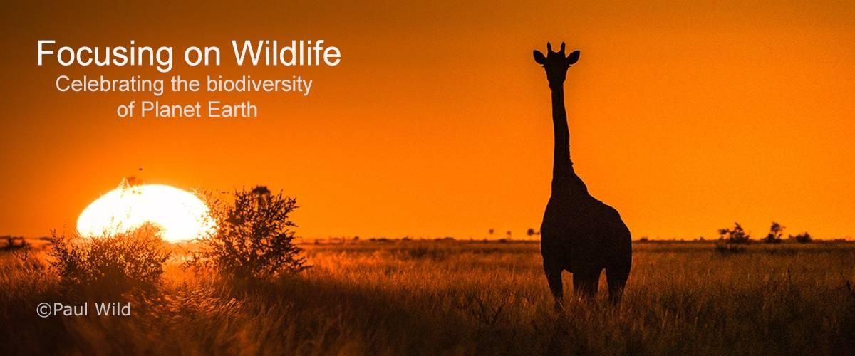 Giraffe at Sunrise by Paul Wild