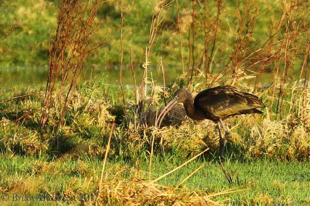 Glossy Ibis at Ely