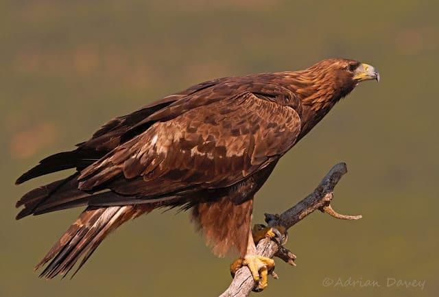 Golden Eagles in Spain