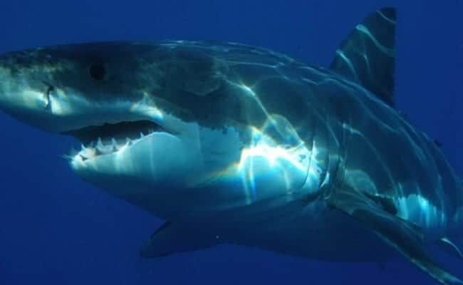 Heroic Boat Captain Rescues Entangled Great White Shark