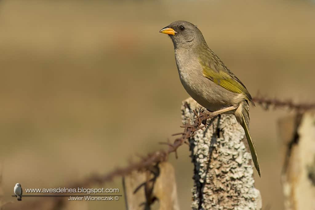 Verdón (Great pampa Finch) Embernagra platensis