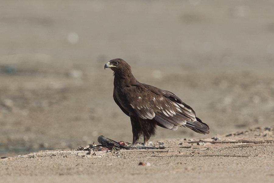 Greater Spotted Eagles  – Sabkhat Al Fasl