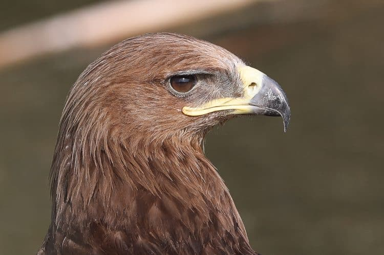 Summer Greater Spotted Eagle – Jubail