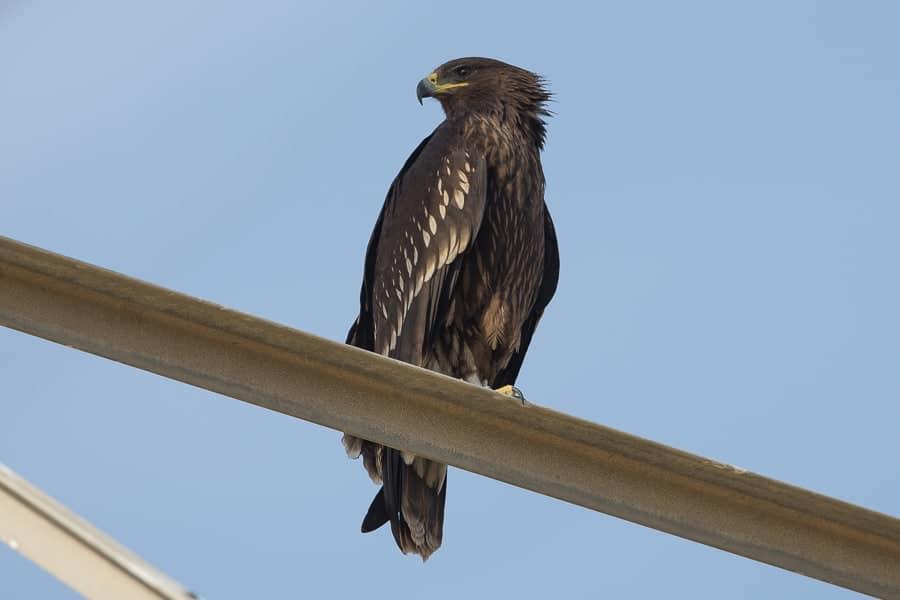 Highest site count of Greater Spotted Eagles – Sabkhat Al Fasl