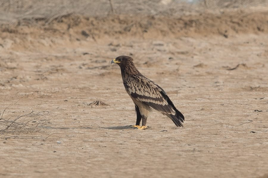 Greater Spotted Eagle – Jubail