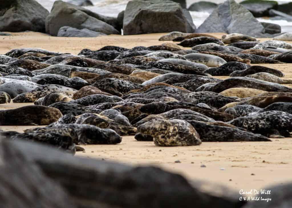 Grey Seals At Horsey, Norfolk