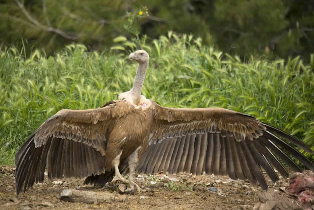POLL: Should veterinary Diclofenac be banned to save vultures?