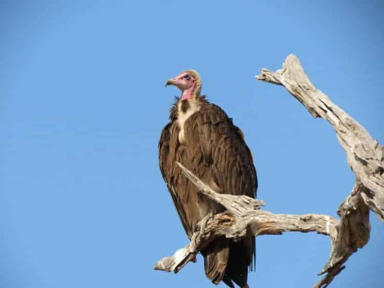African vulture pilot study aims to reduce poisoning deaths