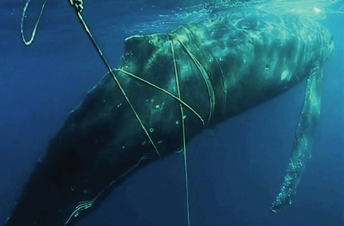 Video: Rescuers help 'distressed' 10m humpback whale entangled in nets at Bondi