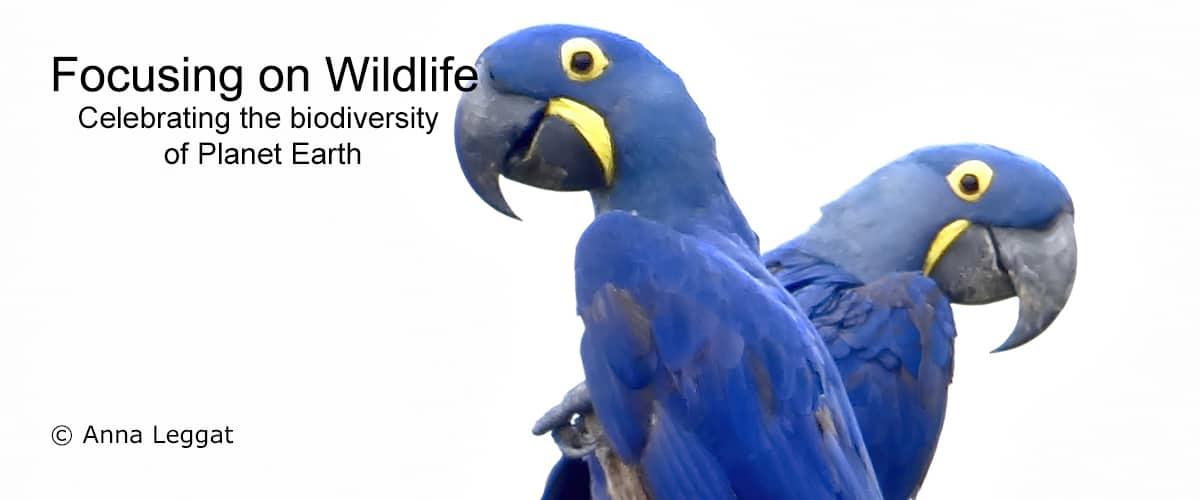 Hyacinth Macaws by Anna Leggatt