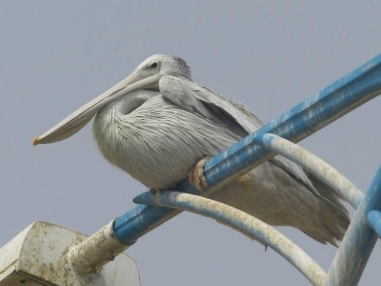 Jizan to Al Namas: A Saudi Birding Epic