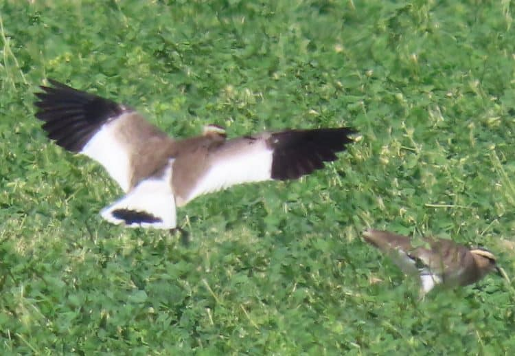 """While not a traditional target bird among """"true"""" Saudi hunters, all migratory birds, especially ones as striking as the critically endangered Sociable Lapwing, are at risk of indiscriminate shooting and trapping throughout the Kingdom. Discretion with details concerning the location of lapwing flocks is advised."""