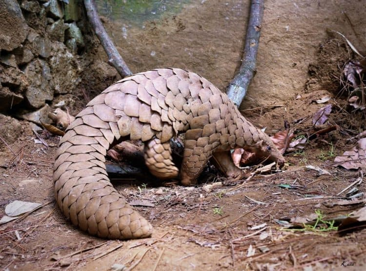 Three pangolin species closer to extinction: IUCN