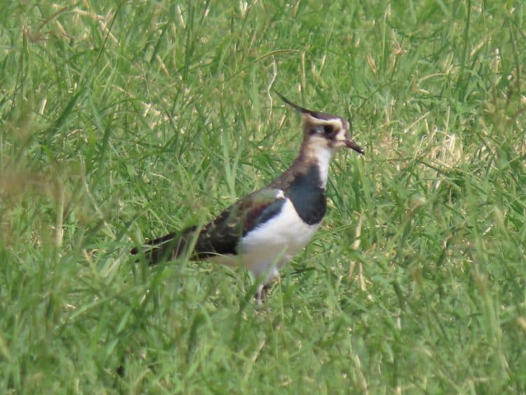 A solitary Northern Lapwing in a pivot field near Haradh. In a month or so this species will outnumber Sociable Lapwings more than 50 to 1.