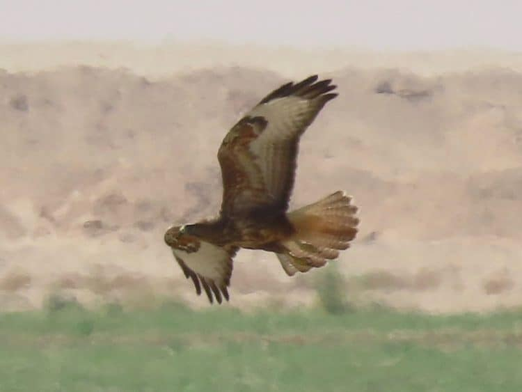 A Steppe Buzzard flying out over a pivot field near Haradh