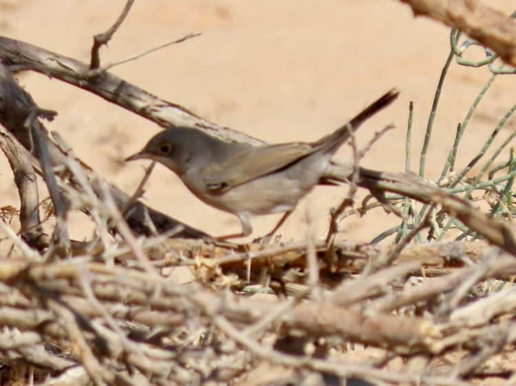 A male Menetries's Warbler browsing for food in a small acacia on the side of the road near Haradh