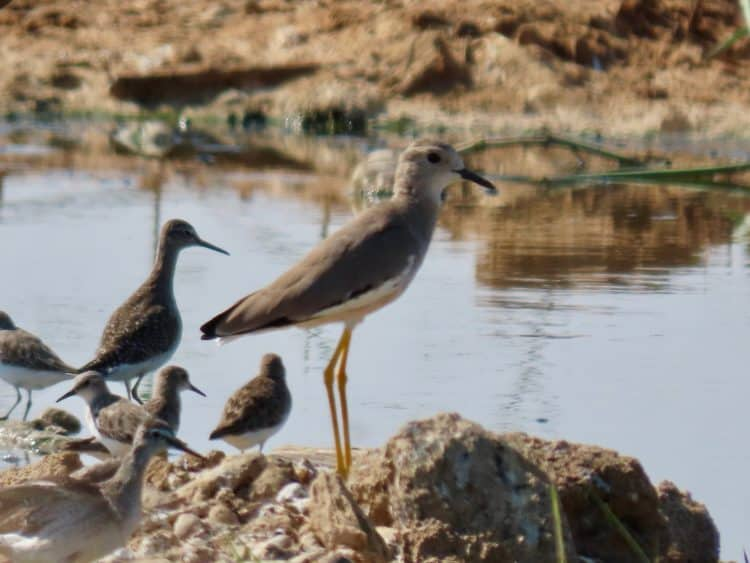 An uncommon White-tailed Lapwing in a manmade roadside wetland near Haradh