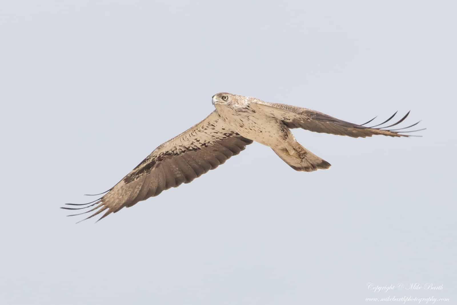 Close encounter with a Bonelli's Eagle