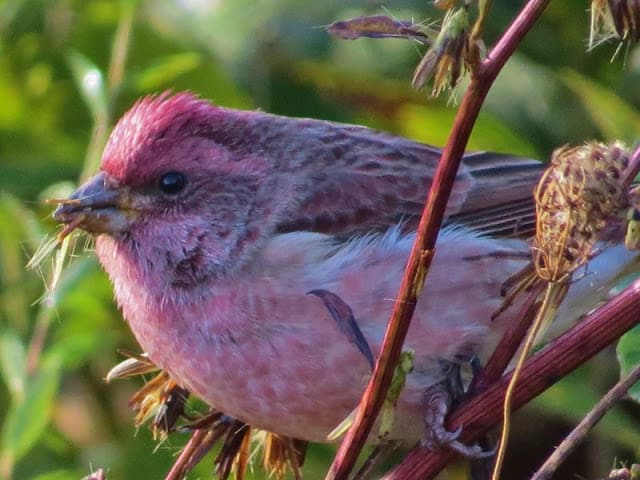 Habitat Search Led Me To Purple Finches