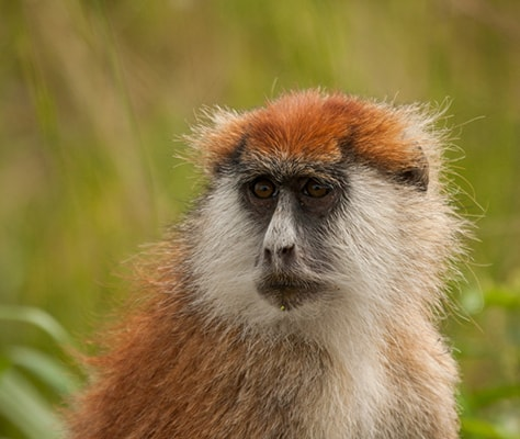 New survey reveals… Laikipia's patas monkey in decline (Kenya)