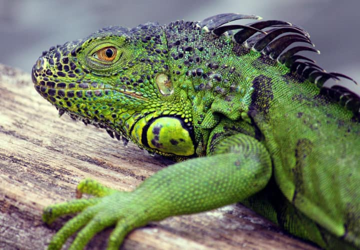 POLL: Should Florida's invasive iguanas be killed off?