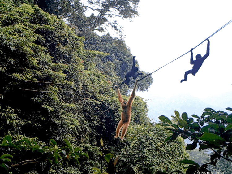 Can manmade rope bridges offer relief for the world's rarest primate – the Hainan gibbon? A new study shows promise.