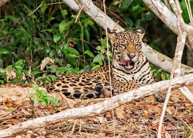 Jaguars on Rio Tres Irmaos