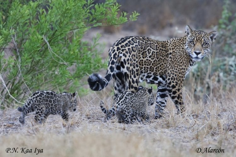 Hunting, agriculture driving rapid decline of jaguars in South America's Gran Chaco