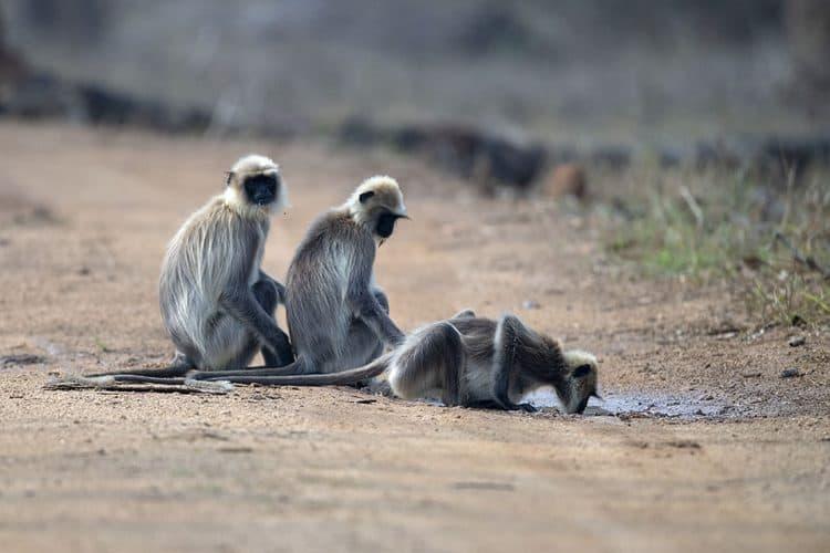Common Langurs in amazing Kabini
