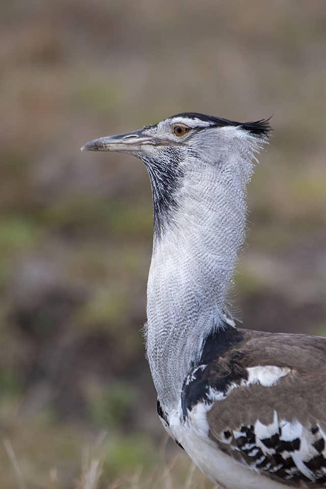 Kori Bustard in Masai Mara