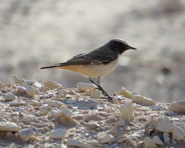 Eilat Birding