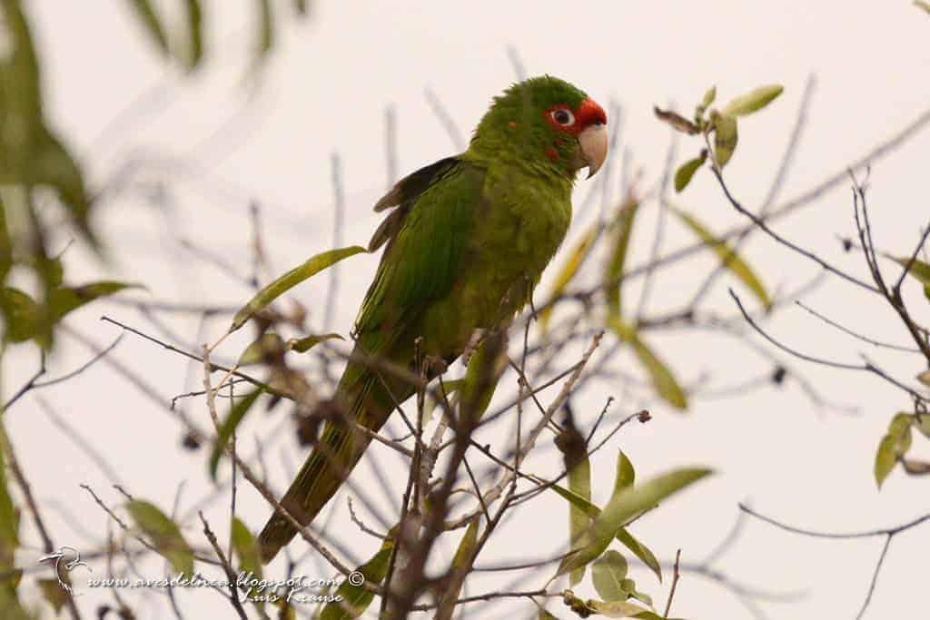 Calancate Cara Roja (Mitred Parakeet)  Psittacara mitratus Tschudi, 1844