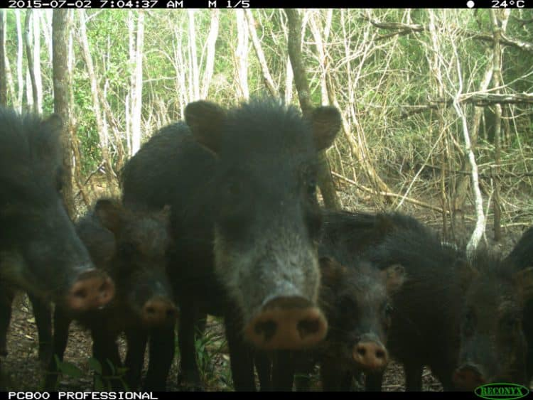 Peccary's disappearance foreboding for other Mesoamerican wildlife