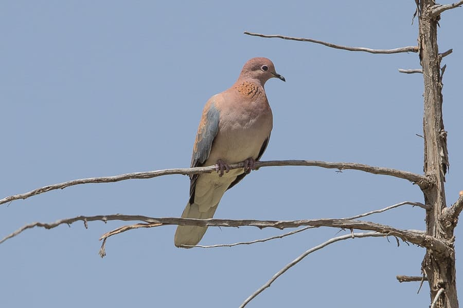 Laughing Dove and other interesting birds