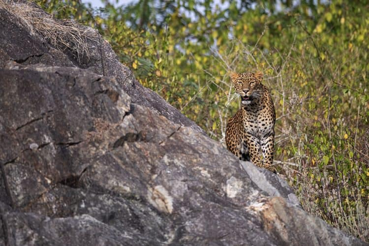 Leopard on a rock in Bandipur