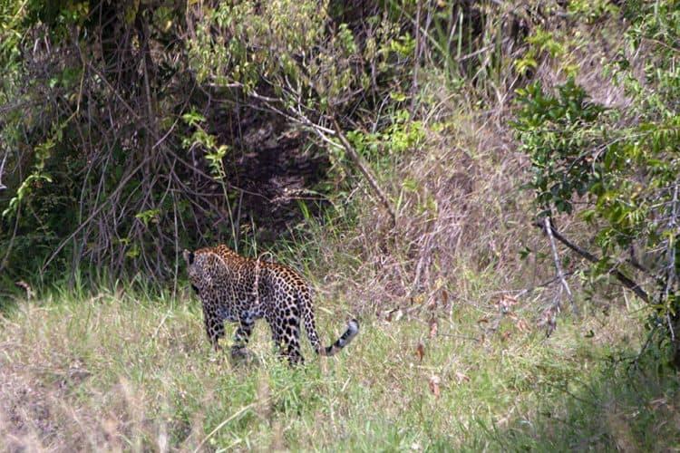 Leopard in Masai Mara 2