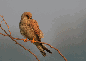 Lesser Kestrel shot for preservation