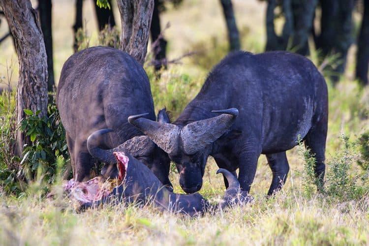 African Lion vs Cape Buffalo in Maasai Mara contd…