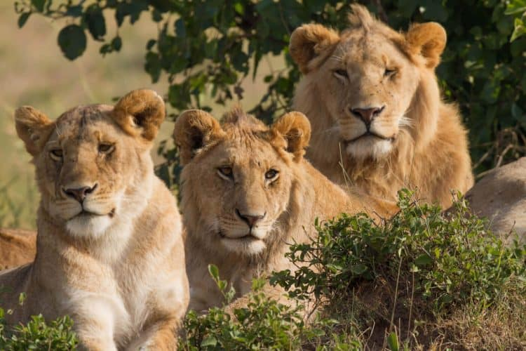 Video: Lion Protector Biologist Helps Big Cats and People Coexist