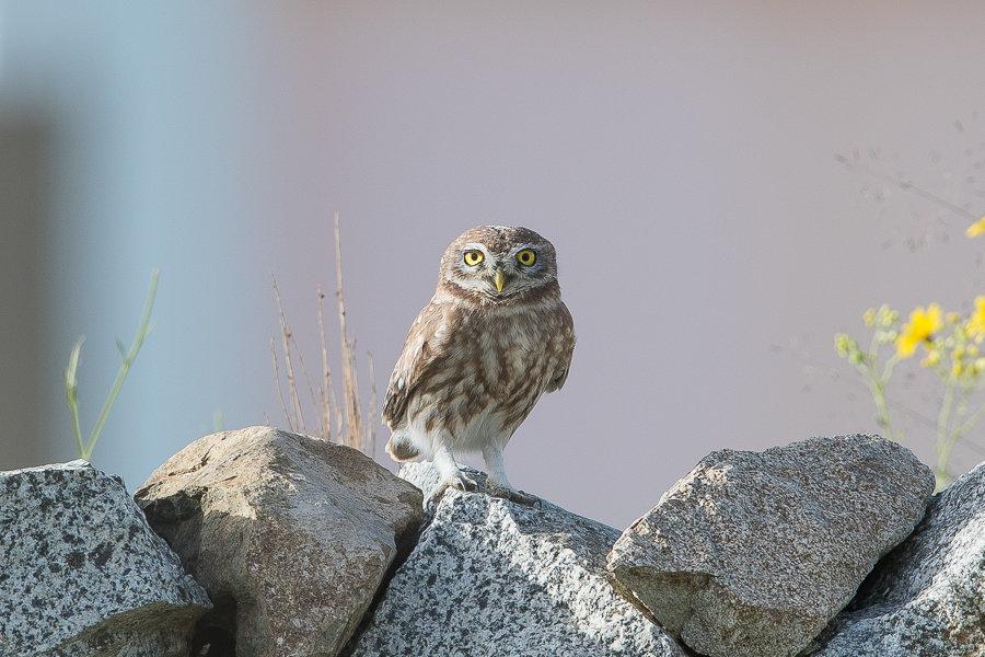Little Owls – An Namas