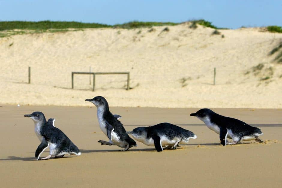 Video – Little penguins return to ocean after being treated for injuries