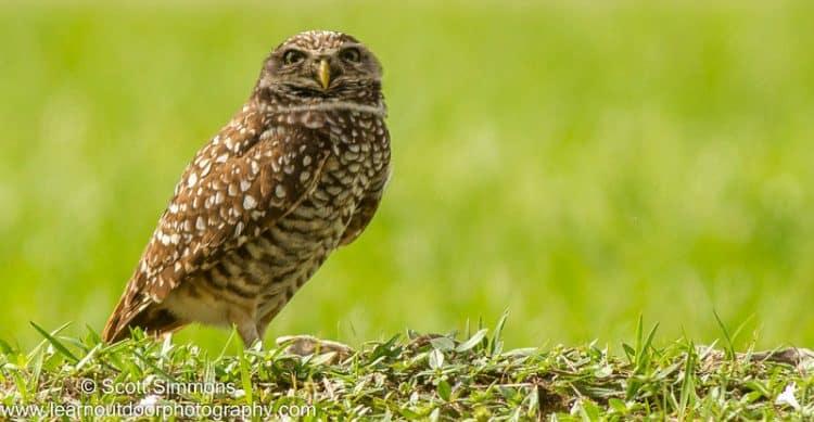 Burrowing Owl at Brian Piccolo Park, 12/27/2015