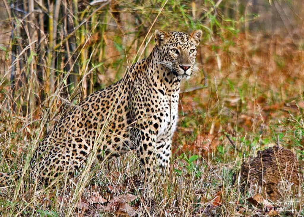 In search of Leopards